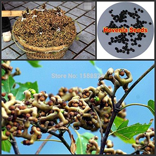 100pcs 100% Véritable frais Hovenia Thunb. Graines de fleurs fruits graines d'arbres