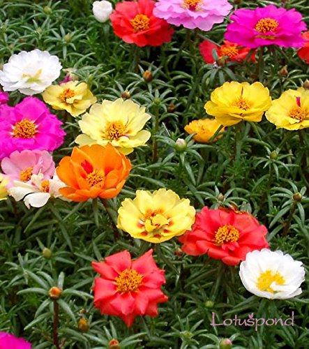 200 pcs Portulaca grandiflora floraison couvre-sol mousse de plantes rose graines de fleurs 200 mélange