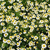 Outsidepride Roman Chamomile Plant Seeds - 50000 Seeds