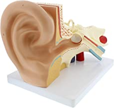 MonMed | Human Ear Model Anatomy 3D Model of Ear Display Outer, Middle, Inner Ear Model with Base, 3pcs (2 Removable)