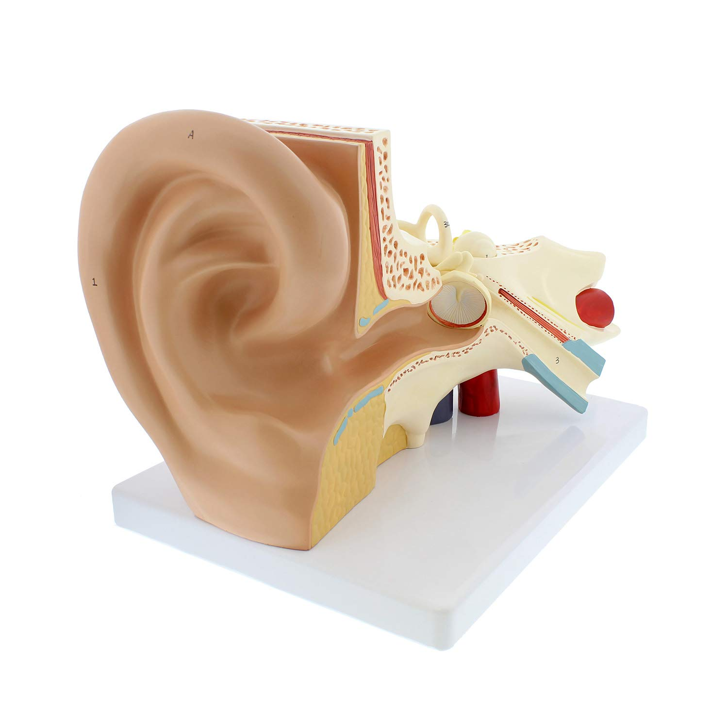 MonMed Human Ear Inventory cleanup selling sale Superior Model Anatomy Mi of 3D Display Outer