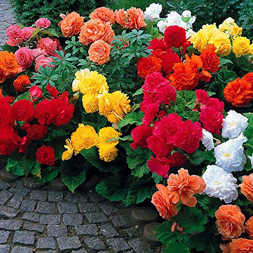 Begonia Non Stop Mix (3 Bulbs) Brilliant Color Throughout Summer and Fall!