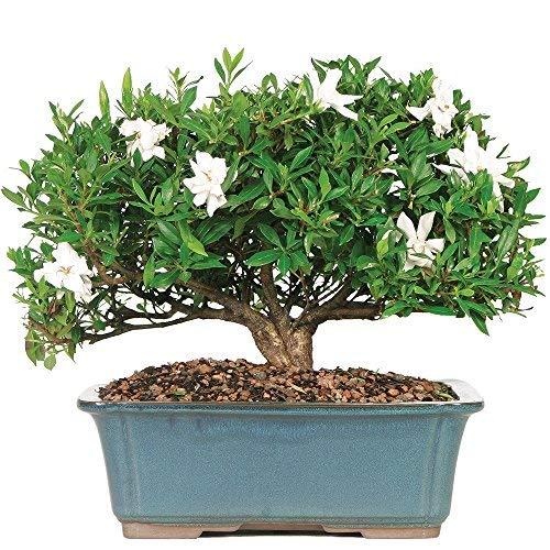 Best <strong>Bonsai Gardenia Tree</strong>