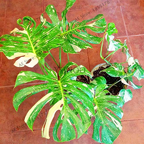 Shopmeeko Seltener Palm Turtle Plant Baum, Monstera ceriman, einfach zu züchten, Bonsaianlage für den Innenhof, 104pcs: 3