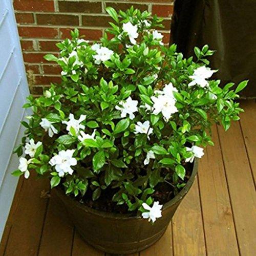 Acecoree Samen Haus- 10 stücke Weiß Jasmin Samen Blumen Saatgut Schnittblumen winterhart mehrjährig Blumen exotische samen bienenfreundliche Blumensamen Garten