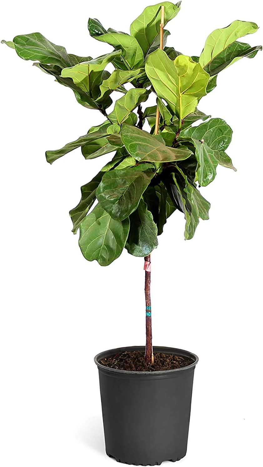 Fiddle Leaf Fig - The Soldering Attention brand Most Indoor Popular Tall Tree Live