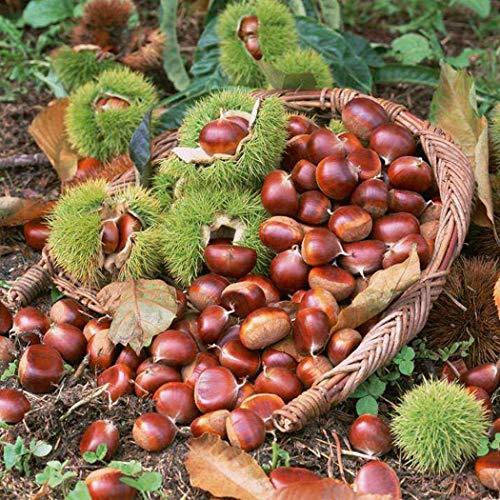 Beautytalk-Garten Bio Kastanien Samen mehrjährig winterhart Baum Samen Bonsai exotische samen