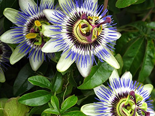 5pcs Passiflore (Passiflora incarnata), plantes Passion fruits exotiques Graines grenadille pour le jardin à la maison 5