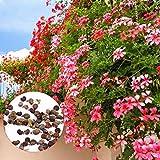 Cioler Seed House - 20 pcs grimpant graines de géranium rare pelargonium vivace fleurs de jardin graines hardy bonsaï plante en pot pour jardin balcon/terrasse