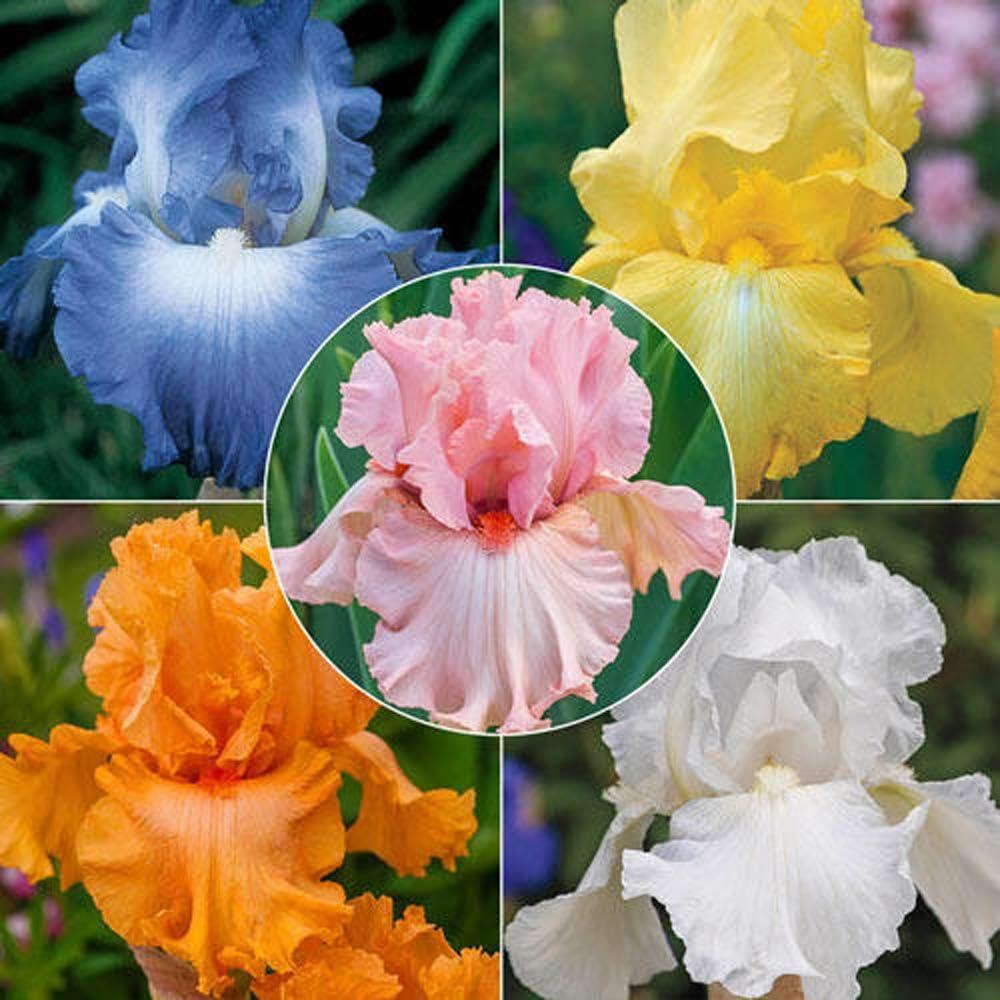 Bulbos De Iris,Hardy Root Perenne Balc/óN Patio Ex/óTicas Jardiner/íA-2 Bulbos,Blue