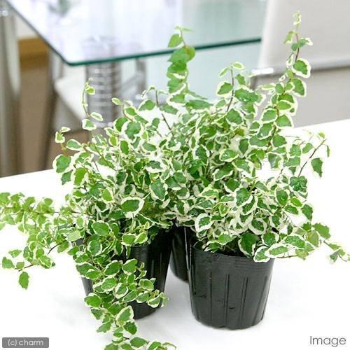 charm(チャーム) (観葉植物)フィカス プミラ サニーホワイト 3号(1ポット)