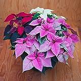 Brandneu! 100 Stück Poinsettia Samen, Euphorbia pulcherrima, Topfpflanzen, seltene Blütenpflanzen Samen für hjome Dekoration - Arcis New
