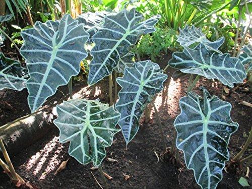 Alocasia sanderiana: Kris plant (English Edition)