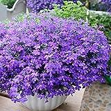 Charm4you Semillas de Flores perennes,Especies de Flores de Interior fácil de Vivir: Seis Veces 500 cápsulas,Plantas Coloridas Semillas