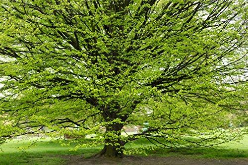 Hainbuche Carpinus betulus 100 Samen