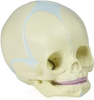 Walter Products B10222 Fetal Human Skull Model, 30th Week of Pregnancy