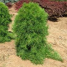 Best pinus densiflora bonsai Reviews