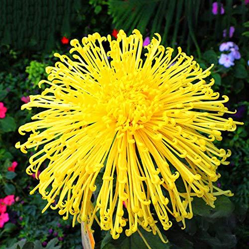 TENGGO Egrow 100 Teile/Paket Chrysantheme Samen Gelbe Chrysantheme Bonsai DIY Garten Blume Pflanze