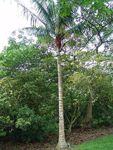 Teddypalme Dypsis leptocheilos Pflanze 15-20cm Teddybärpalme Teddy Palme Rarität