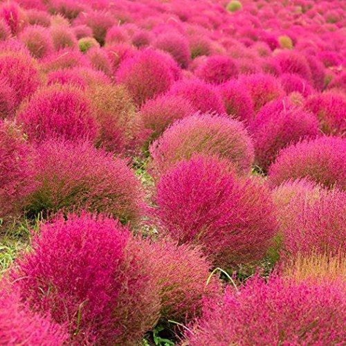 Acecoree Samen Haus- Dekoration Gras Samen,Selten Kräuterpflanzen Bodendecker Kochia Scoparia Samen winterhart mehrjährig Rasen samen Landschaft Gras Saatgut Zierpflanzen