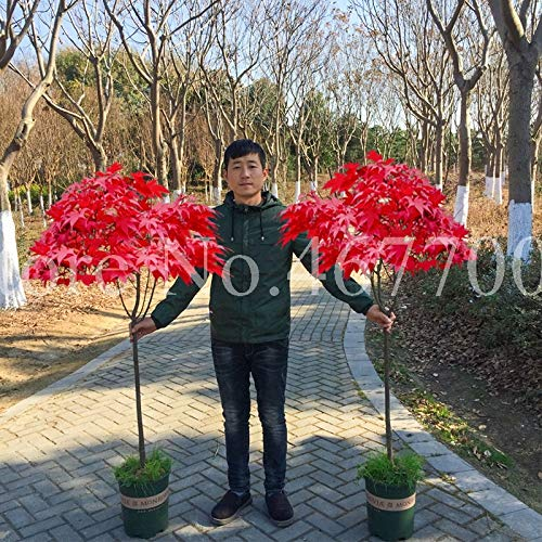 HONIC 20 PC-Bonsai Ahorn Japanischer Ahorn Bonsai-Baum-Topfpflanze Balkonpflanzen Für Hausgarten Schöne Blumentopf leicht anzubauen