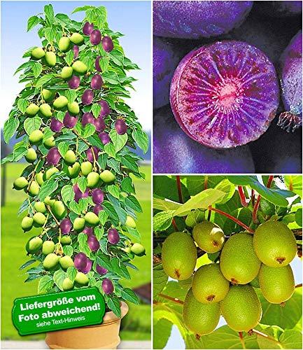 BALDUR Garten Duo-Kiwi-Turm-Kollektion, 1 Kens Red + Befruchter Nostino und 1 Issai Pflanzen Actinidia arguta winterhart