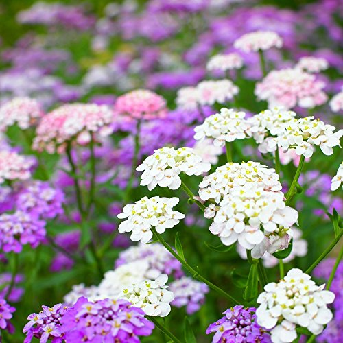 Schleifenblume, Globe Schleifenblume gemischt Samen - Iberis Eisenholz