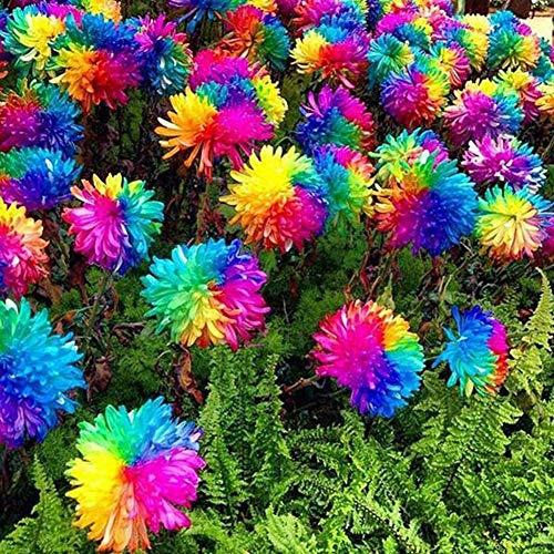 Greatlizard 50 Capsules/Paquet De Graines De Chrysanthème Colorées-Semer Graines Fleurs Balcon La Semence Bio pour Jardin