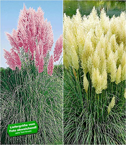 BALDUR Garten Pampasgras Sortiment, 2 Pflanzen Cortaderia selloana Set bestehend aus je 1 Pflanze rosa und 1 Pflanze weiß blühend Ziergräser