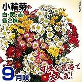 国華園 菊苗 特選9月咲小輪セット 3種6株(名称付)
