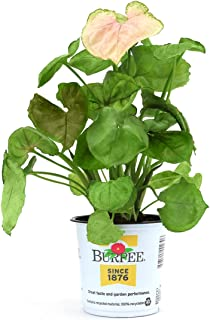 Burpee's Syngonium 'Allusion Mango'   Indirect Medium Light, Easy Care House Plant   4