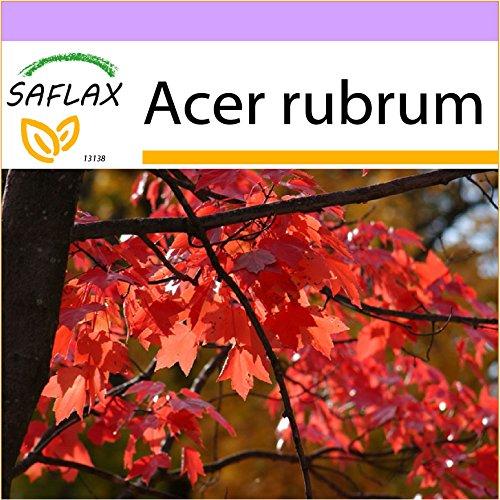 SAFLAX - Acero rosso - 20 semi - Acer rubrum