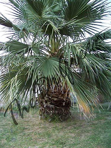 VISA STORE 100 Samen Washingtonia filifera Fan Pm Short Wüste Saatgut Aria