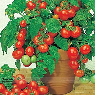 Best giant vegetable seeds for sale uk Reviews