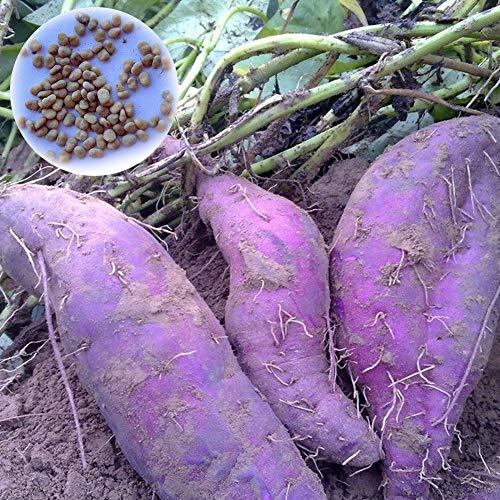 KingbeefLIU 100Pcs Semillas De Batata Moradas Nutrición Vegetales Deliciosos Bonsai Plantas Semillas...