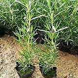 Semillas, QAINGU 50 Piezas Semillas de Romero Rosmarinus Officinalis Heirloom Planta de Semillas de Hierbas Bonsai Home
