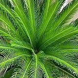 TOYHEART Graines De Fleurs De Qualité Supérieure, Graines De Sagou Cycas Tropicales Faciles à Planter des Graines De...
