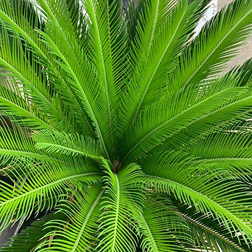 TOYHEART Premium-Blumensamen, Sago Cycas-Samen Tropisch Leicht Zu Pflanzen Grüne Sago-Palmensamen Für Den Garten Grün