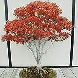 Portal Cool Semi di olmo giapponese Zelkova Serrata (Es 61 Bonsai)