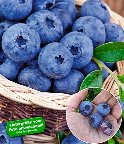BALDUR-Garten Heidelbeere Kosmopolitan Blaubeeren Heidelbeeren Pflanze, 1 Pflanze Vaccinium corymbosum reichtragend rotes Fruchtfleisch