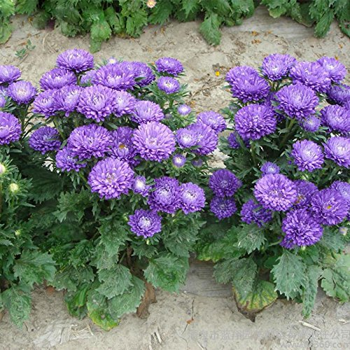 Vente chaude Rare Light Purple Callistephus chinensis Graines de fleurs Balcon Bonsai Plante en pot de fleurs Aster Graines 120PCS