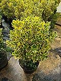immergrüner Spindelstrauch Euonymus japonica Marieke Solitär 60-80 cm hoch im 10 Liter Pflanzcontainer