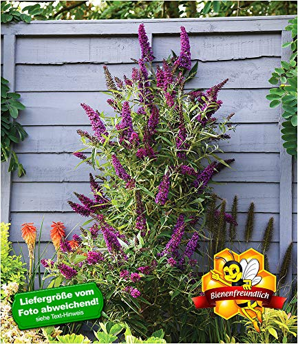 BALDUR-Garten Buddleia Straight UP - Butterfly Tower, 1 Pflanze Sommerflieder