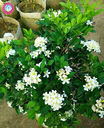 20pcs Murraya paniculata flor Bonsai Semillas Fácil El cultivo perenne florecientes plantas para jardín balcón Patio