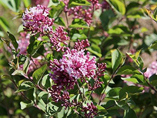 Herbstflieder rosa Blüte - Syringa microphylla Superba Containerware 60-80 cm hoch - Garten von Ehren®