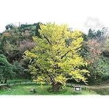 「かくれ里の巨樹」