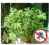 ajenjo semillas aromáticas, plantas aromáticas, Ajenjo jején de la impulsión del hogar las plantas en maceta Pulsera antimosquitos Jardín de Bonsais