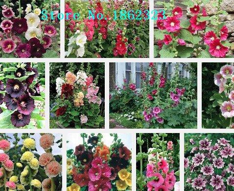 Maceta semillas de flores del rosea, semillas de malva, malva real flor, sobre 100particles ``