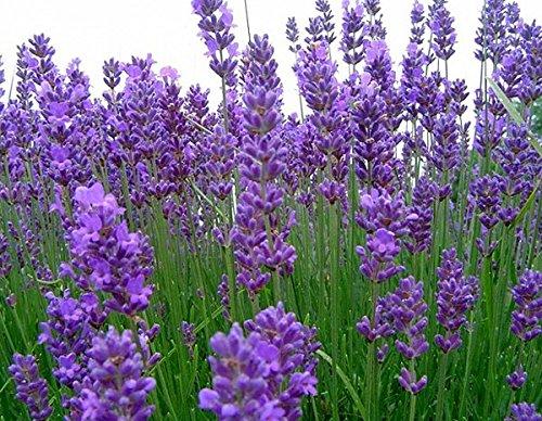 Breitblättrige Lavendel - Lavandula latifolia - 200 Samen