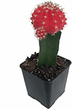 "Red Grafted Moon Cactus - Easy to Grow - 2"" Pot - Live Plant"